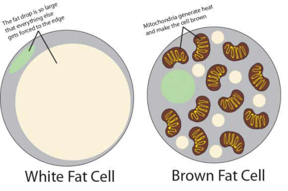 fat-cells-e1406542600218